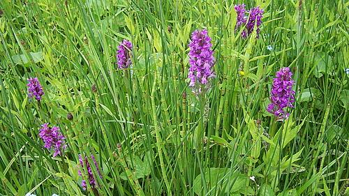 Orchideenwiese im Zittauer Gebirge